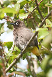 Cape Bulbul bird in tree. Close of of Cape Bulbul bird in tree with feathers puffed up Royalty Free Stock Photography