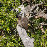 Cape Bulbul Stock Photography