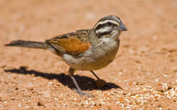 Cape Bunting Royalty Free Stock Photo