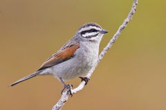 Cape Bunting Stock Photo