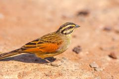 Cape Bunting bird. Cape Bunting on the ground in Kruger National Park, South Africa. A little sparrow with striped head. Emberiza Capensis species of Emberizidae royalty free stock photos