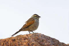 Cape Bunting Royalty Free Stock Photos