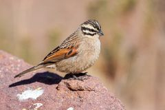 Cape Bunting Stock Images