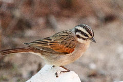 Cape bunting Stock Image