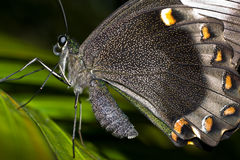 Cape Butterfly. In macro on leave with detailed spots and large wings Royalty Free Stock Photo