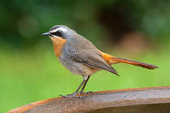 Cape chat robin adult male. Perched on bird bath Royalty Free Stock Photography