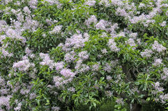 Cape Chestnut, a large African tree. Cape Chestnut, Calodendrum capense, is a large African tree up to 20 meter high with purple - pink flowers stock images