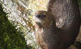 Cape Clawless Otter Stock Photography