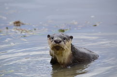 Cape clawless Otter Stock Images