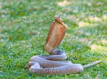 Cape cobra. Cobra snake on grass with head raised and displaying hood Royalty Free Stock Photography
