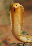 Cape cobra. Aggressive Cape cobra (Naja nivea) with flattened hood, Kalahari, South Africa royalty free stock image