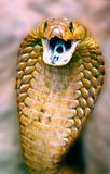 Cape cobra face to face Stock Image