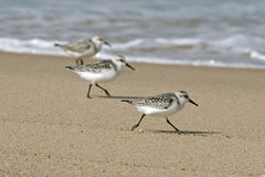Cape Cod sanderlings at the water's edge Royalty Free Stock Images