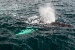 Cape Cod, Wal explodiert im Meer Lizenzfreie Stockbilder