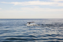 Cape cod: whale diving in the sea Stock Photo