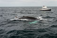 Cape cod, whale diving in the sea Stock Images