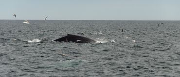 Cape cod, whale diving in the sea. Humbpack whale diving off Cape Cod Massachusetts, USA royalty free stock image