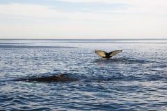 Cape cod: whale swimming in the sea Stock Photos