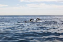 Cape cod: whales diving in the sea Royalty Free Stock Image