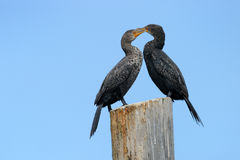 Cape Cormorant. Two Cape Cormorants on a pole Stock Photography
