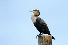 Cape Cormorant. Portrait from a Cape Cormorant Royalty Free Stock Photography