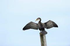 Cape Cormorant. Portrait from a Cape Cormorant Royalty Free Stock Photo