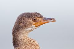 Cape cormorant (phalacrocorax capensis) Stock Photography