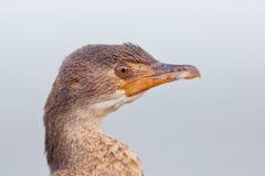 Cape cormorant (phalacrocorax capensis) Stock Photography