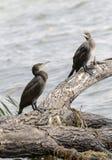 Cape cormorant Phalacrocorax capensis Stock Images