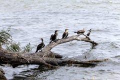 Cape cormorant Phalacrocorax capensis Stock Photo