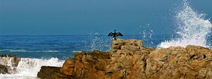 Cape Cormorant on rocks Royalty Free Stock Photo