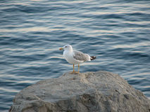Cape Cormorant Royalty Free Stock Photo