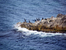 Cape Cormorant Stock Images