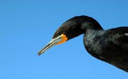 Cape cormorant Stock Photo