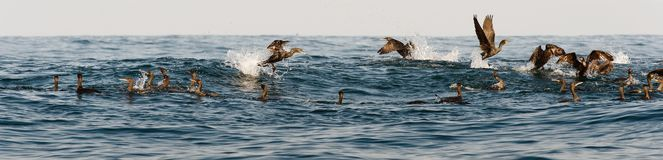 The Cape Cormorants Stock Images