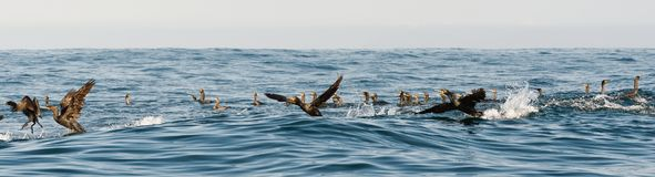 The Cape Cormorants Royalty Free Stock Photos