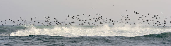 The Cape Cormorants catch fish at the ocean Stock Image