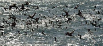 The Cape Cormorants (phalacrocorax capensis) Stock Image