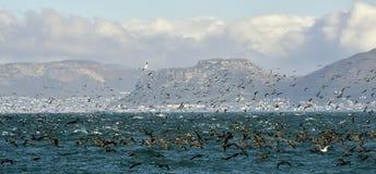The Cape Cormorants (phalacrocorax capensis) Stock Images