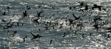 The Cape Cormorants (phalacrocorax capensis) on the shiny water background Stock Photo
