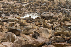 Cape Cross. Cape fur seals colony, Cape Cross, Namibia royalty free stock images