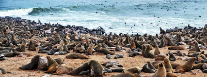 Cape Cross seal colony. Cape Cross under the name Cape Cross Seal Reserve. The reserve is the home of one of the largest colonies of Cape fur seals in the world Stock Photography