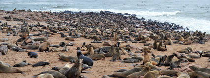 Cape Cross seal colony. Cape Cross under the name Cape Cross Seal Reserve. The reserve is the home of one of the largest colonies of Cape fur seals in the world Stock Image