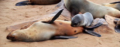 Cape Cross seal colony. Cape Cross under the name Cape Cross Seal Reserve. The reserve is the home of one of the largest colonies of Cape fur seals in the world Stock Photo