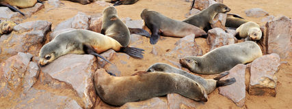 Cape Cross seal colony. Cape Cross under the name Cape Cross Seal Reserve. The reserve is the home of one of the largest colonies of Cape fur seals in the world Royalty Free Stock Photos