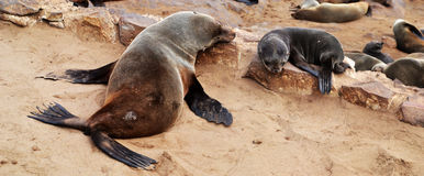 Cape Cross Seal Reserve. Today Cape Cross is a protected area under the name Cape Cross Seal Reserve. The reserve is the home of one of the largest colonies of Royalty Free Stock Photos