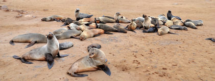 Cape Cross Seal Reserve. Cape Cross under the name Cape Cross Seal Reserve. The reserve is the home of one of the largest colonies of Cape fur seals in the world Stock Photos