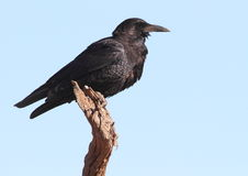 Cape Crow Royalty Free Stock Image