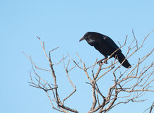 Cape Crow Stock Photos