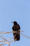 Cape Crow in Kgalagadi, South Africa Stock Photo